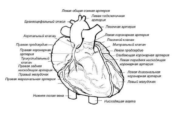 коронарные артерии