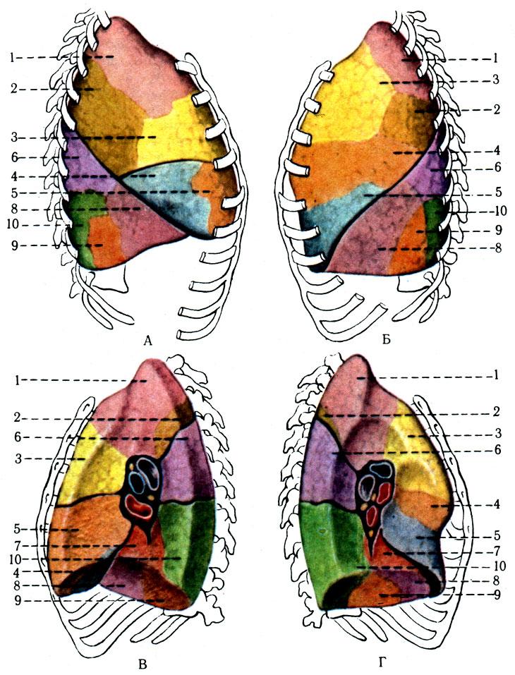 сегменты лёгких